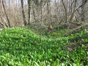 Bärlauchteppich im Auwald