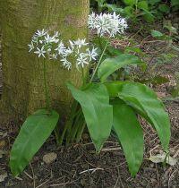 Allium ursinum - Lisa Carter GFDL