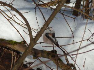 Besuch aus Nord- oder Osteuropa - die weißköpfige Unterart der Schwanzmeise (Aegithalos caudatus caudatus)