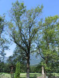 Esche in Ludesch im August: vorzeitiger Blattfall, abgestorbene Triebe und Zweige Foto: Abt. Forst (BH Bludenz)