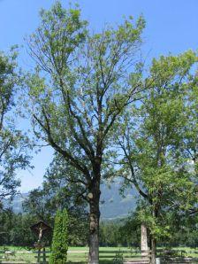 Esche in Ludesch im August: vorzeitiger Blattfall, abgestorbene Triebe und Zweige