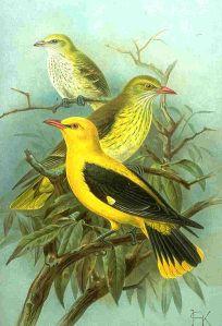 Pirol- Ausgeprägte Unterschiede im Gefieder zwischen Männchen (gelb-schwarz) und Weibchen (grün-gelb).