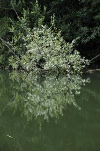 Überschwemmte Silberweide