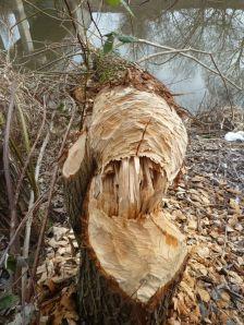 Im Winter schmecken dem Biber die Baumrinde, die Zweige und Knospen.