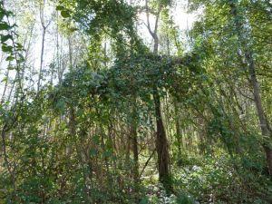 Auch andere Kletterpflanzen wie die Waldrebe mit ihren Lianen gestalten den Auwald wie hier in der Tschalenga Au, Nüziders (Foto: Naturschutzanwaltschaft).