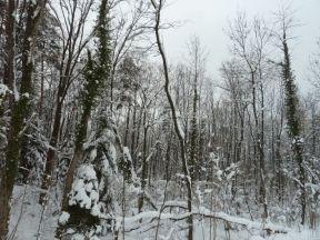 Kontrastreich: die immergrünen Efeuranken heben sich v.a. in der laubfreien Zeit und auch bei Schnee gut ab. Vertrocknende Weichholzauen im Natura 2000 Gebiet Mehrerauer Seeufer - Bregenzerachmündung (Foto: Naturschutzanwaltschaft).