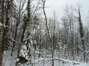 Kontrastreich: die immergrünen Efeuranken heben sich v.a. in der laubfreien Zeit und auch bei Schnee gut ab.Vertrocknende Weichholzauen im Natura 2000 Gebiet Mehrerauer Seeufer - Bregenzerachmündung (Foto: Naturschutzanwaltschaft).