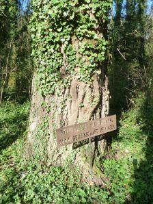 Fast armdicke Lianen des Efeu auf diesem Naturdenkmal (Silberpappel) in der Oberau Meiningen.
