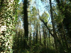 Wenn die Laubbäume im Frühjahr austreiben gelangt weniger Licht auf den Waldboden. Der Efeu als geschickter Wurzelkletterer aber wächst dem Sonnenlicht entgegen ins Kronendach wie hier in der Oberau in Meiningen (Foto: Naturschutzanwaltschaft).