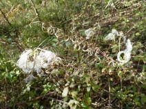 Samenstand Clematis hintergrund Weidenroeschen