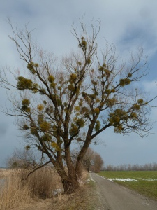 Beliebte Wirtsbäume der Laubholz-Mistel sind die Auwald-Baumarten Weide und Pappel (Foto: Naturschutzanwaltschaft).
