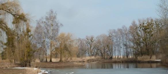 Mistelkolonie bei den Schleienlöchern in Hard (Foto: Naturschutzanwaltschaft).