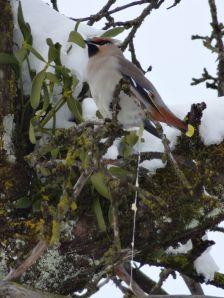 Seidenschwanz auf einem Obstbaum in Lustenau. Die Mistelsamen werden zusammen mit dem klebrigen Fruchtfleisch wieder ausgeschieden, können sich regelrecht abseilen und an den Ästen ansiedeln (Foto: Martin Burtscher).