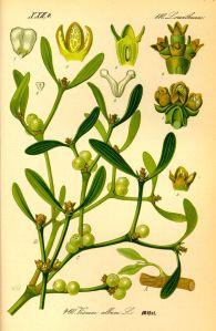 Die Laubholz-Mistel mit ihren weißen Beerenfrüchten behält auch im Winter ihre Blätter.