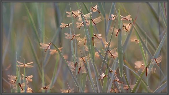 Sumpfheidelibellen