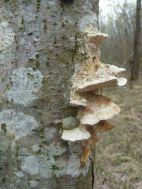 Baumschwämme sind Totholzbesiedler