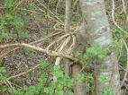 Lianen umschlingen die Bäume der Au