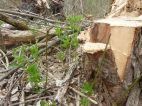 Das Bingelkraut schießt aus dem Boden nach der Holznutzung