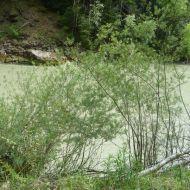 Alpine Flüsse wie die Bregenzerach und ihre Ufervegetation mit Lavendelweide sind ein FFH Lebensraumtyp und EU-rechtlich geschützt.