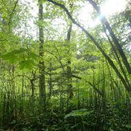 Der immergrüne Winter-Schachtelhalm kommt oft im Auwald vor.