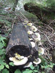 Totholz findet man einiges im Auwald.