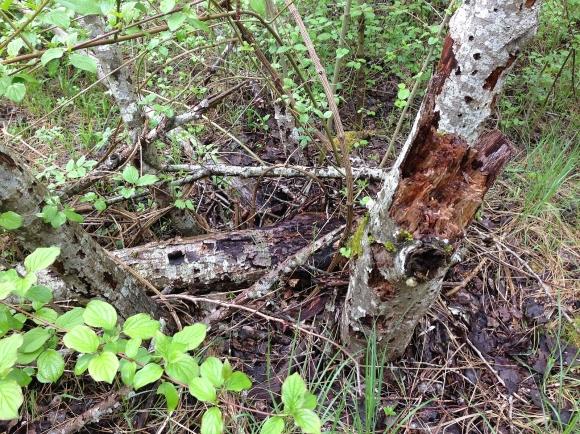 Totholz gehört zu jedem Auwald