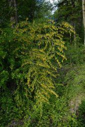 Berberis vulgaris (Berberidaceae - Berberitzengewächse) - (Echte) Berberitze DSC_8532