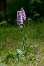 DSC_8625.JPG Dactylorhiza maculata s.lat. (inkl. D. fuchsii)  (Orchidaceae - Orchideen) - Flecken-Fingerwurz